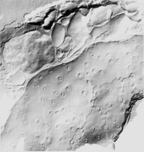 Micrograph of Arabidopsis thaliana
